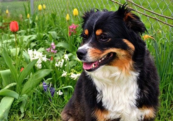 Michelles Dog Norris the Australian Shepherd