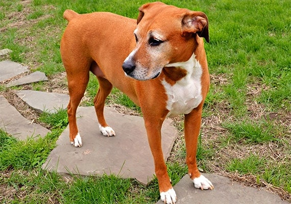 Michelles dog Holly the Boxer Foxhound