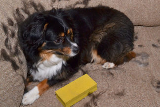 Mini australian shepherd sitting next to pet hair remover with fur all over couch