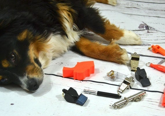 Miniature Australian Shepherd laying next to different dog whistles we reviewed