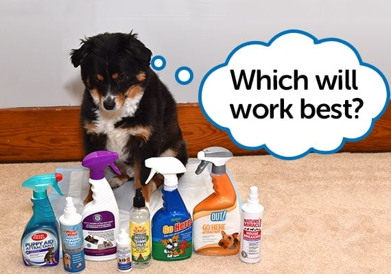 Miniature Australian Shepherd sitting next to different potty training sprays and attractants we reviewed