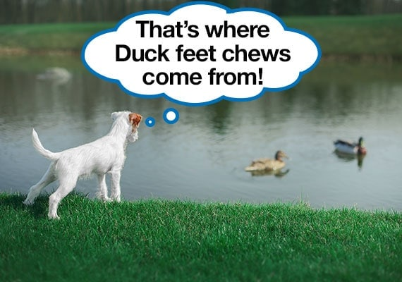 Parson Russel Terrier learning where duck feet dog chews come from