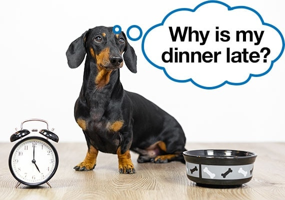 Picky Dachshund demanding to know why his dinner has not arrived and his dog bowl is empty
