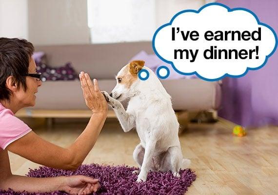 Picky Jack Russel Terrier performing tricks before dinner