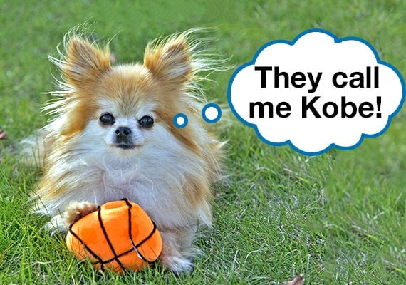 Pomeranian Chihuahua mix playing with basketball plush dog toy