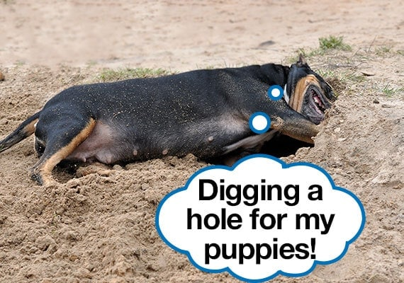 Pregnant American Staffordshire Terrier dog digging a hole to keep her newborn puppies safe