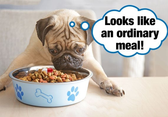 Pug eating kibble with a pill hidden inside his dog bowl