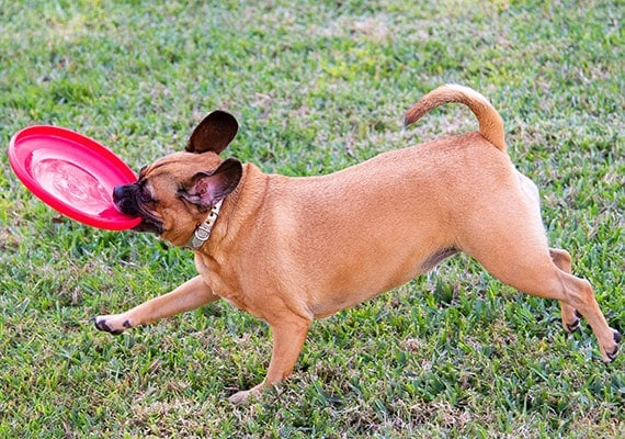 Puggle dog catching Hyperflite Jawz Frisbee in mouth