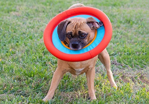 Puggle Sticking his head through hole in Ruffwear Hydro Plane Frisbee