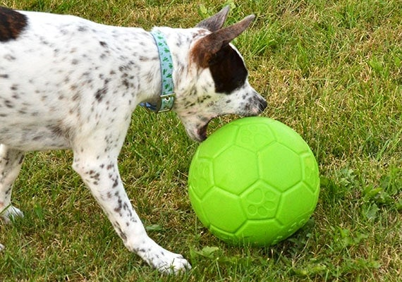 Puppy herding Jolly Pets Soccer Ball with his jaws
