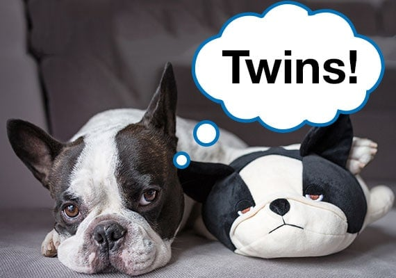 Real Boston Terrier sitting next to Boston Terrier plush dog toy