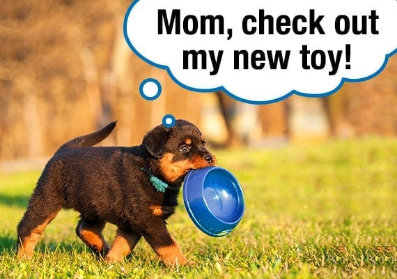 Rottweiler puppy walking around yard with plastic dog bowl in his mouth as toy
