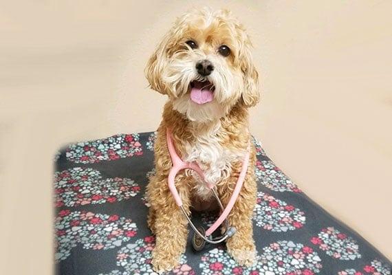 Ruby Dr Sara Ochoas Schnoodle dog