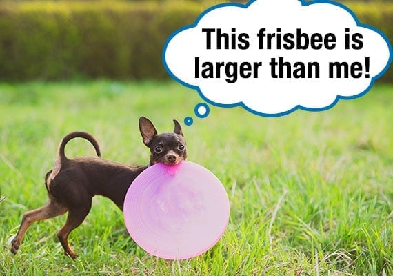Russian Toy dog carrying large Frisbee disc through grass