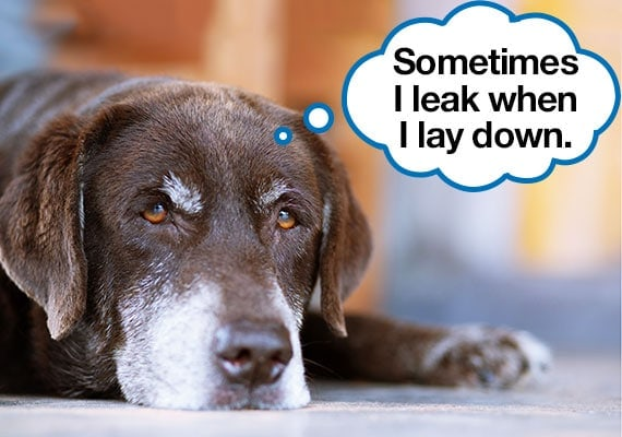 Senior labrador with gray muzzle laying on floor with incontinence
