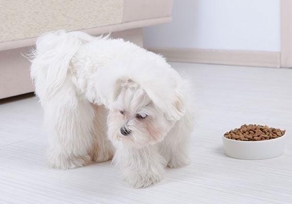 Shih Tzu won't eat his bowl full of dry dog food