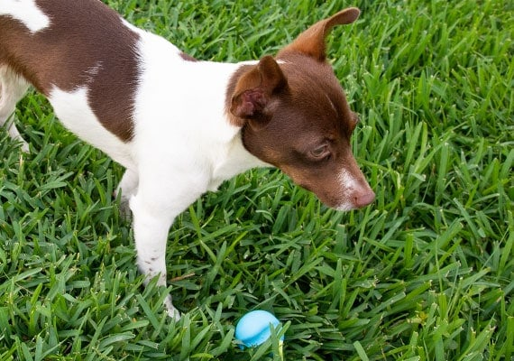 Small Jack Russel playing with 2 inch blue West Paw Jive Ball in grass
