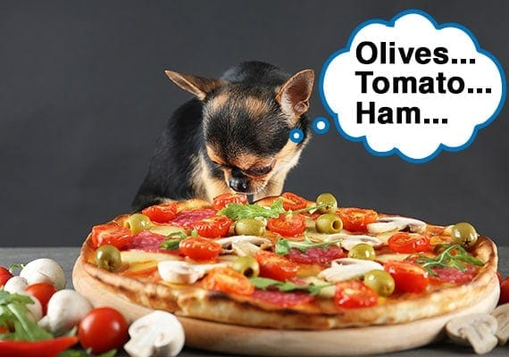 Small chihuahua using his nose to smell ingredients in a pizza