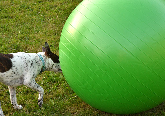 Small dog attempting to herd giant Jolly Mega Ball