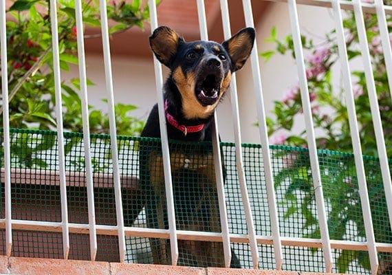 Small dog barking on balcony sticking his head between railing