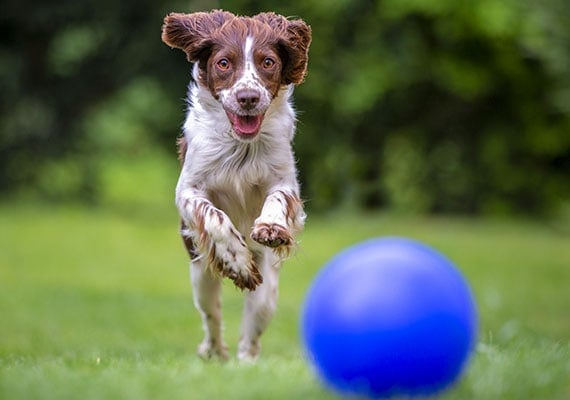 Spaniel mix chasing blue herding ball in park