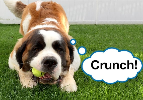 St. Bernard crunching and breaking tennis ball in powerful jaws