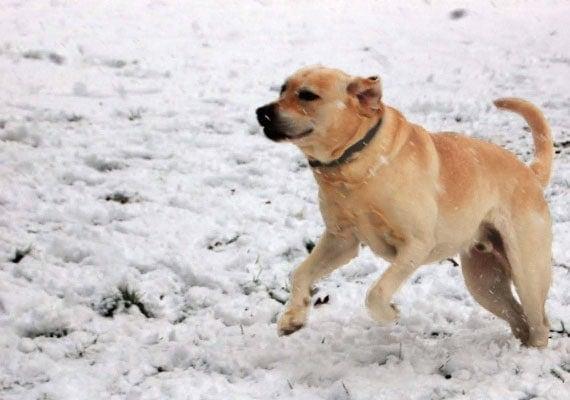 Tucker, the Yellow Labrador Retriever, no-spill bowl tester