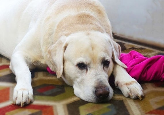 Tucker, the Yellow Labrador Retriever, taking a rest while the ceramic bowls are being set up