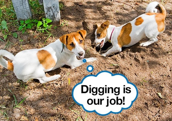 Two Jack Russel Terriers digging holes in the yard