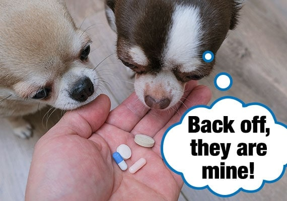 Two chihuahuas competing with each other to eat pills out of owner's hand