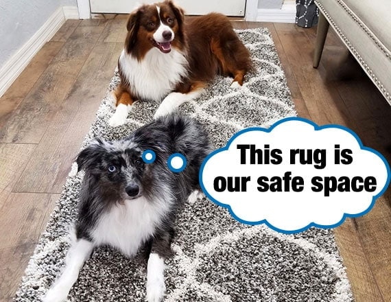 Two collies sitting on shaggy rug that is covering slippery hardwood floor