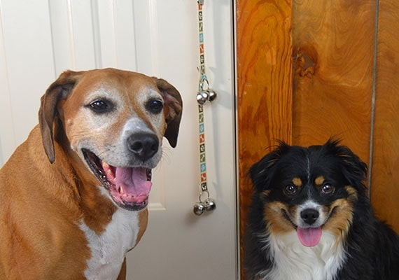 Two dogs helping to review a doorbell that is hanging from a door knob