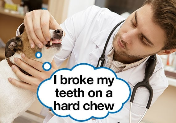 Vet examining a dogs mouth who broke his teeth on a hard chew toy