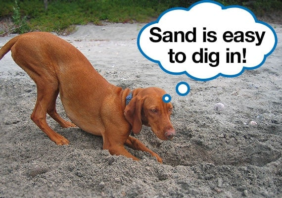 Vizsla dog digging in in soft sandy soil