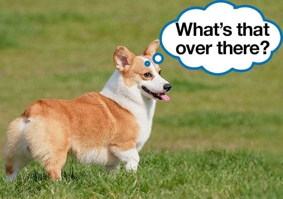 Welsh Corgi being distracted from digging a hole in grass