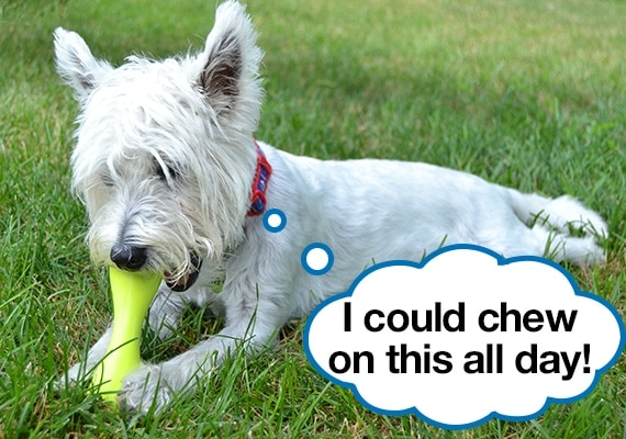 West Highland White Terrier chewing on the best small dog toy, the West Paw Hurley
