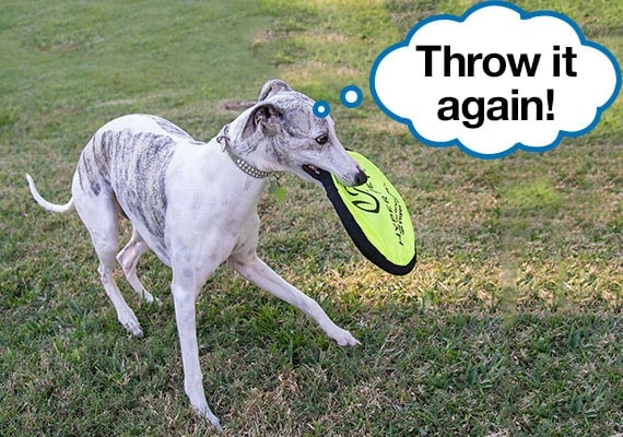 Whippet with Hyper Pet Flippy Flopper Frisbee Dog Toy in mouth