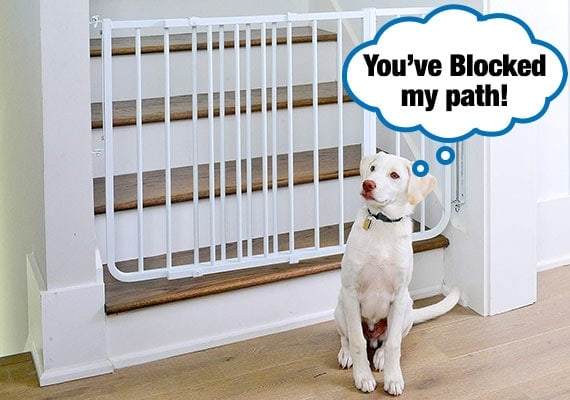 White Labrador sitting at bottom of hardwood stairs with dog gate blocking his way up