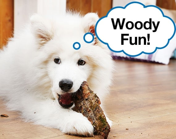 White Samoyed biting wood chew toy on wooden floor