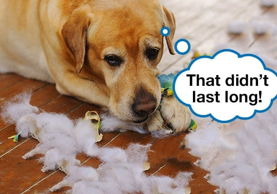 Yellow Labrador chewing on broken plush toy with stuffing torn out