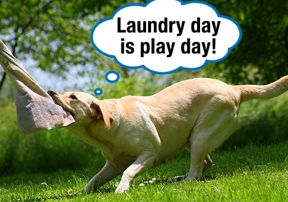 Yellow Labrador tugging towels and laundry off clothes line