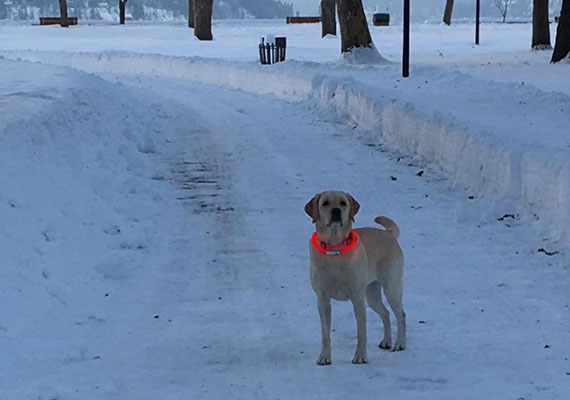 Yellow Labrador with red light-up LED collar on neck in snow-filled park