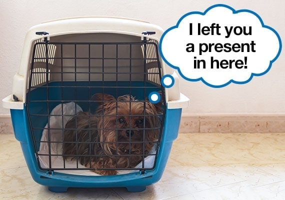 Yorkshire Terrier resting on pee pad that is placed on bottom of travel carrier to stop messy accidents
