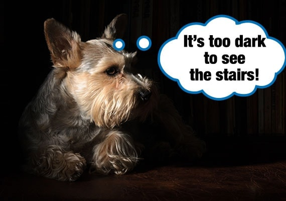 Yorkshire Terrier unable to see stairs in darkness