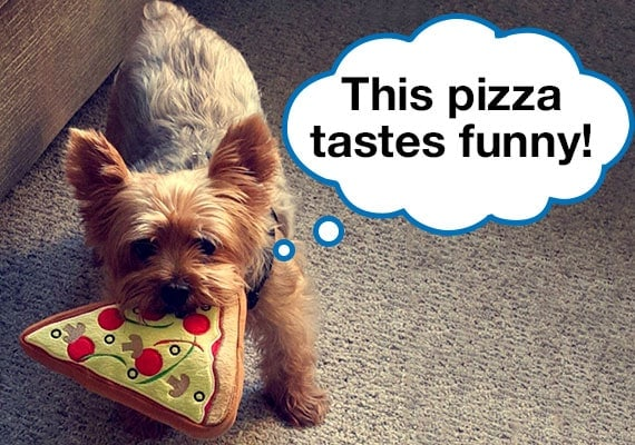 Yorkshire Terrier with plush dog toy pizza in mouth on carpet