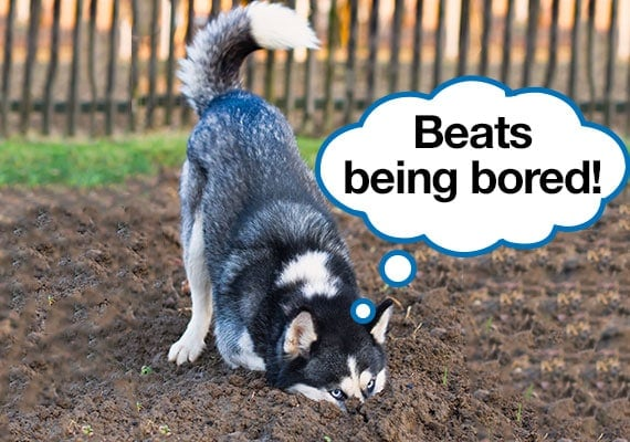 Bored Siberian husky digging up lawn in yard