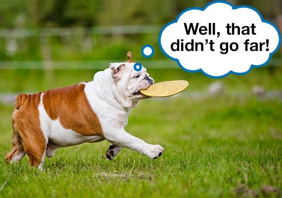 Bulldog carrying heavy duty frisbee in mouth at dog park