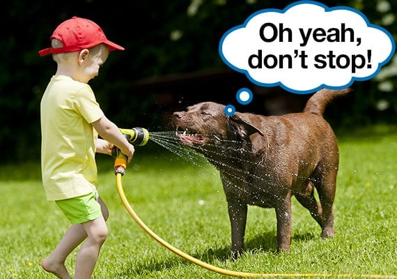 Child using a garden hose to Spray a chocolate Labrador Retriever with water to cool down in the summer heat