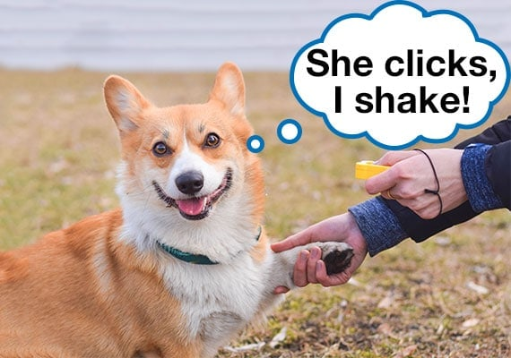 Clicker training Corgi to shake his paw with dog trainer