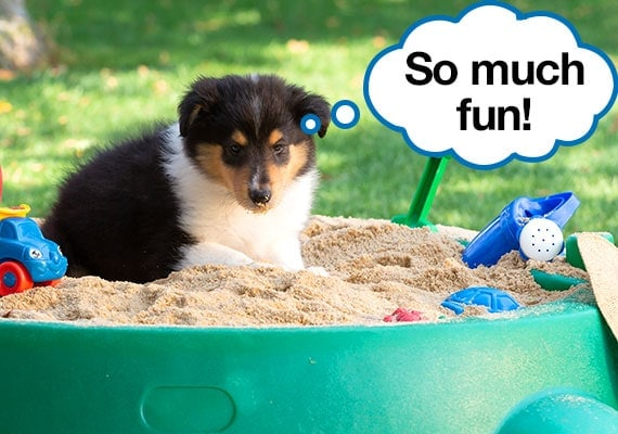 collie puppy digging in sandbox